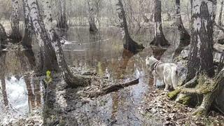 Осторожно, в лесу  падают сухие деревья🐺🐺🐾🌳🌳Watch out, dry trees are falling in the forest#huskyIdel