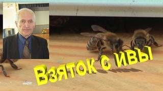 Профессор Кашковский про взяток с ивы