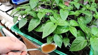 Хотите рассаду как на картинке и супер урожай овощей делайте так в марте апреле! Рассада уход!