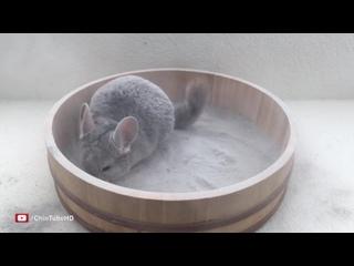 Epic_Chinchilla_Dust_Bath_in_4k_Ultra_High_Definition!.mp4