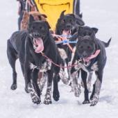 Тур на собачьих упряжках, 10 км