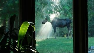 Mama Moose Cools off in Backyard Sprinklers    ViralHog