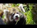 かわいい鳴き声 赤ちゃんレッサーパンダ~Red Panda Baby cry