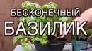 Выращиваем базилик в горшке за 30 дней